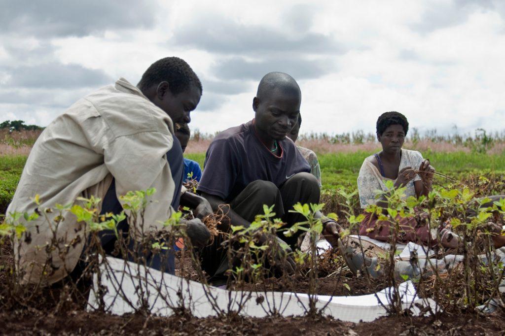 Groundnut_harvesting_in_Malawi